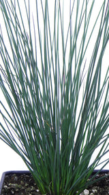 Best plants online - 'Blue Arrows' Rush - Juncus inflexus