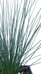 Best plants online-'Blue Arrows' Rush (Juncus inflexus)