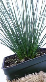 'Blue Arrows' Rush - Juncus inflexus -Best plants online