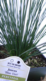 Best online plants - 'Blue Arrows' Rush - Juncus inflexus