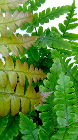 Autumn Fern - Dryopteris erythrosora