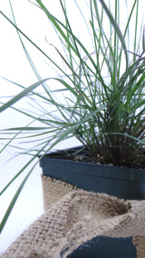 "Grass - Pink Muhly Muhlenbergia capillaris Perennial 4"" (Temporarily Out of stock Check 6"")"
