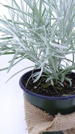Mail order plants - Icicles' Licorice plant - Helichrysum Siempreviva