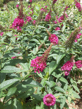 Buddleia Miss Molly Butterfly Bush