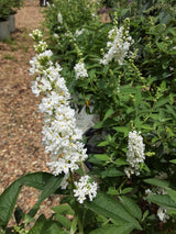 Buddleia Miss Pearl Butterfly Bush 3-gal