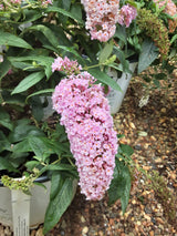 Buddleia Pugster Pink Butterfly Bush 3-gal