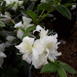 Azalea Autumn Moonlight 3-gal