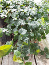 Creeping Fig Green Perennial 6""