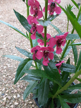 Angelonia Arch Angel Cherry Red Annual 4""