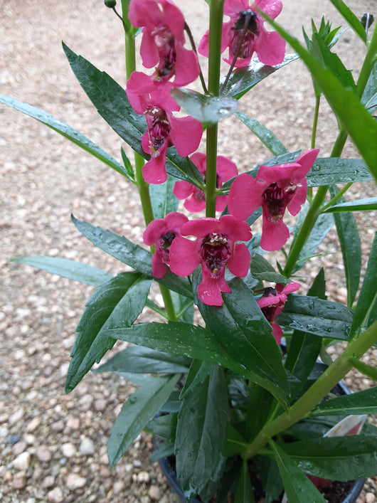 Angelonia Arch Angel Cherry Red Annual 4