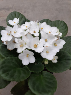 African Violet White 4