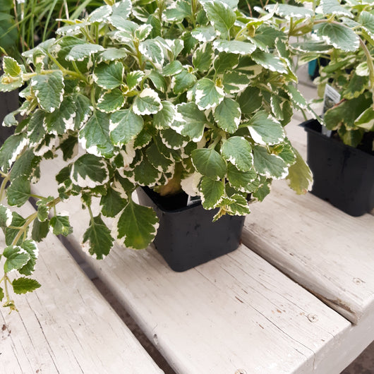 Swedish Ivy Variegated 4