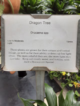 Dracaena Dragon Tree 4""