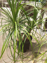 Ponytail Palm Guatemalan 10""