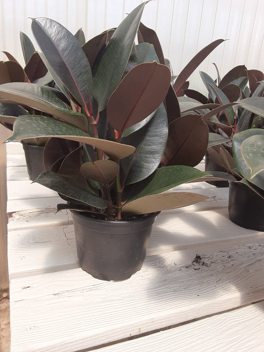 Rubber Plant Burgundy 6