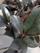 Rubber Plant Burgundy 6""