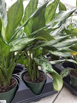 Chinese Evergreen 4""