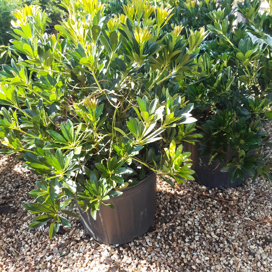 Pieris Temple Bells 3-gal