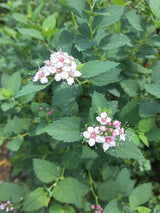Spirea Little Princess 3-gal