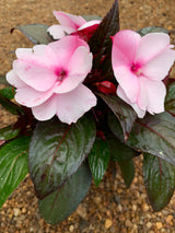 New Guineau Impatiens Petticoat Pink Eye Annual 4""