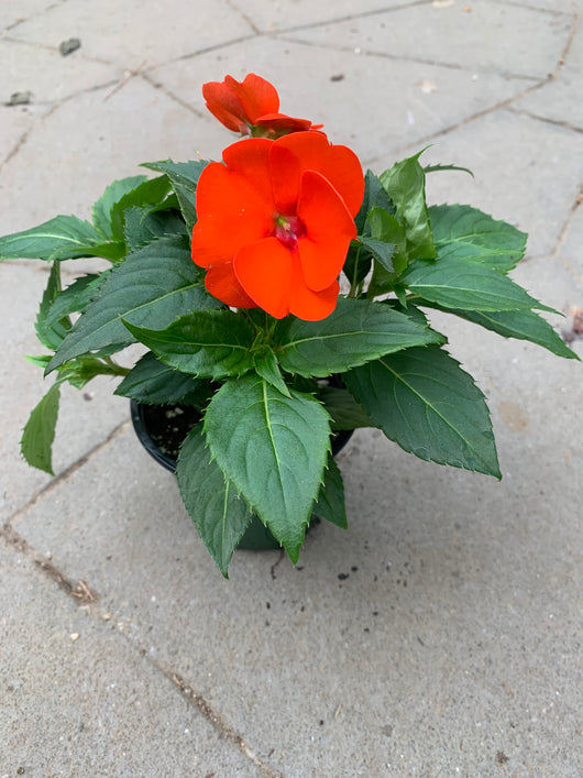 Sunpatiens Orange Annual 4