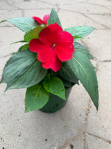 "Sunpatiens Compact Fire Red Annual 4"" (Extremely limited)"