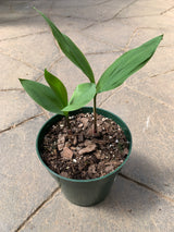 Lily of the Valley Perennial 6""