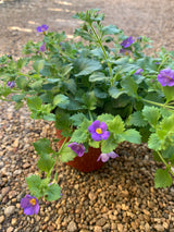 Bacopa Gulliver Blue Annual 4""