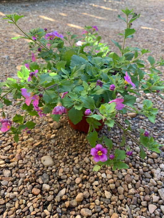 Bacopa Gulliver Pink Annual 4