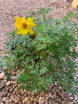 "Bidens Godilocks Rocks Annual 4"" (Out of stock for the season)"