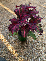 Sun Coleus Peters Wonder