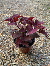Coleus Stained Glass Copper Annual 4""