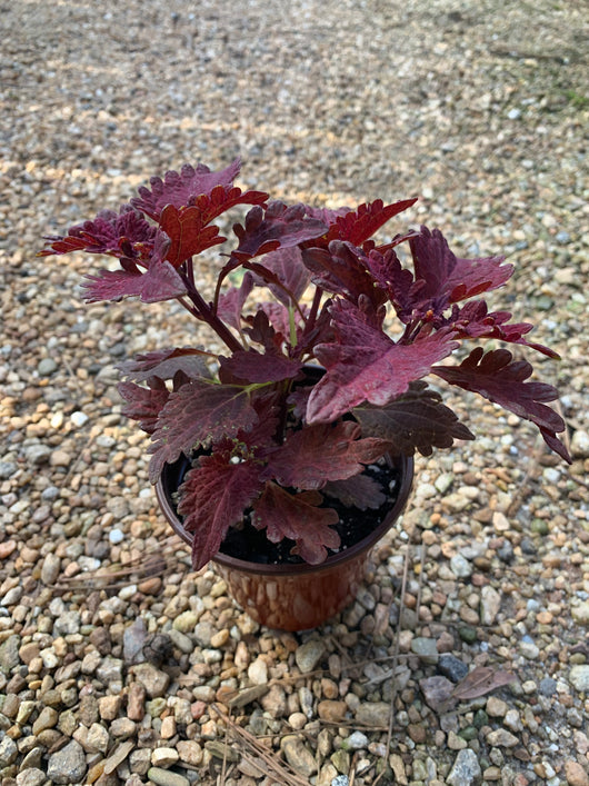 Coleus Stained Glass Copper Annual 4