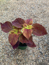 Sun Coleus Alabama Sunset Annual 4""
