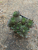 Hens And Chicks Kalinda Perennial 4""