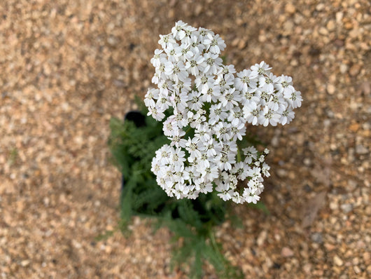 Yarrow New Vintage White Perennial 4