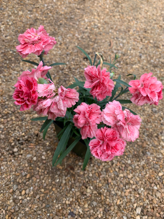 Dianthus Super Trouper Silver Pink Pink  Perennial 4
