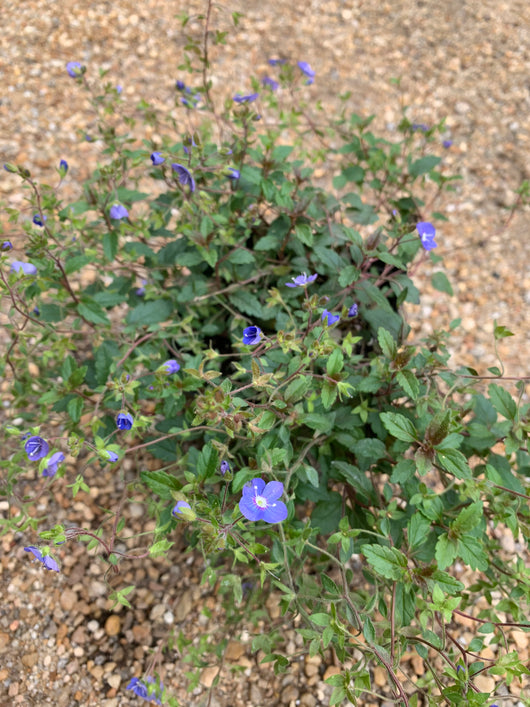 Speedwell Georgia Blue (Out of stock for the season)