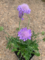 Scabiosa Blue Butterfly Bachelors Button (Temporarily out of stock ... check back 4/20 ish)