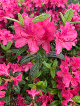 Azalea Autumn Jewel 3-gal