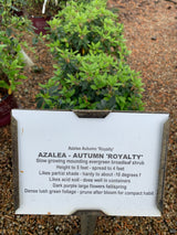 Azalea Autumn Royalty 3-gal