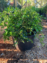 Boxwood Unraveled Weeping  Buxus 3-gal