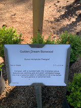 Boxwood Golden Dream Buxus 2-gal (Temporarily Out of stock)