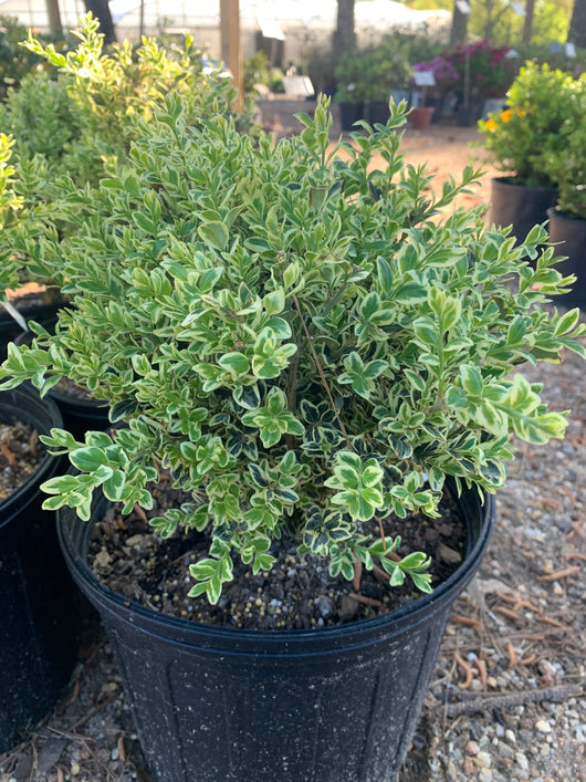 Boxwood Variegated Buxus 3-gal (Temporarily out of stock)