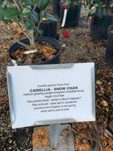 Camellia Snow Chan 3-gal