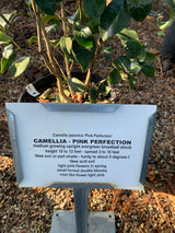 Camellia Pink Perfection 3-gal