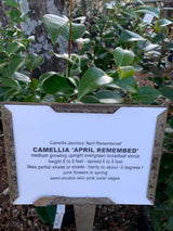 Camellia April Remembered 3-gal
