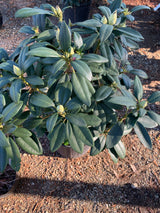 Rhododendron Holden 3-gal