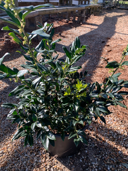 Sweetbox Fragrant Mountain Sarcococca 3-gal
