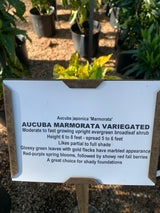 Aucuba Marmorata Variegated 3-gal (Out of stock)